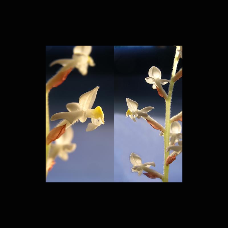 nld-1: ein Orchideenbild für den Winter