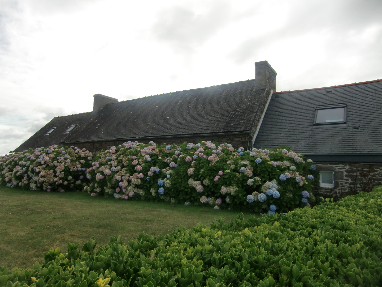 Noch blühen die Hortensien....