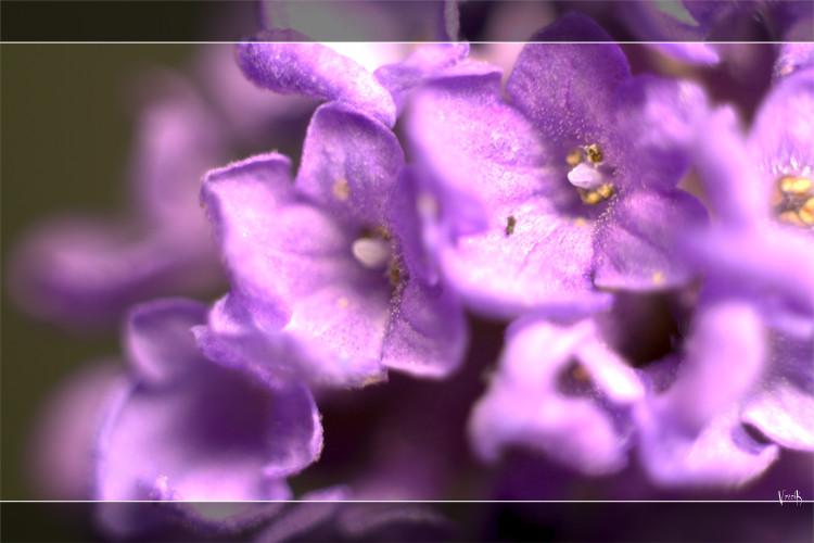 noch blühender Lavendel