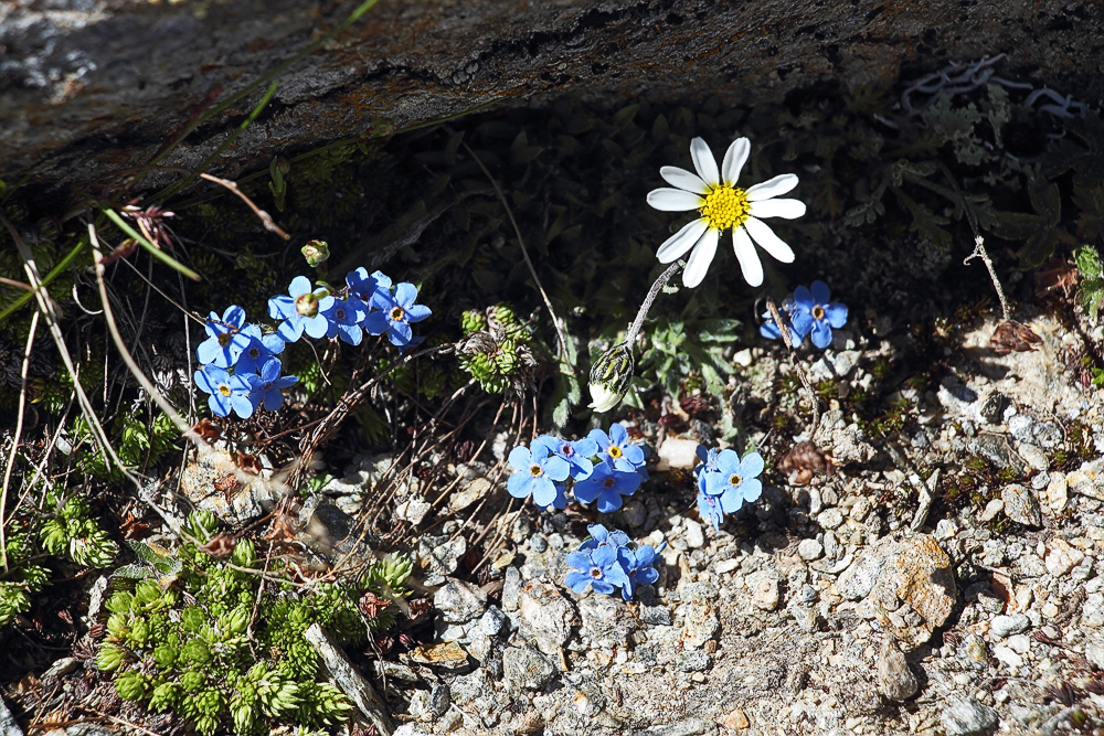 Noch ein Bild aus meinem Alpengarten