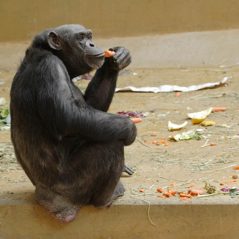 Noch ein Chimpanse