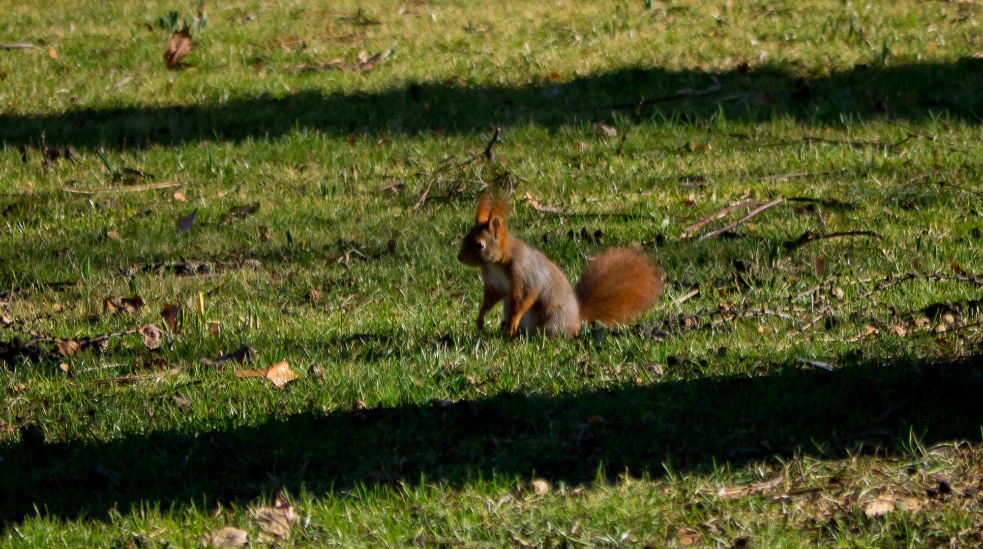 noch ein Eichhörnchen
