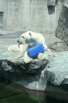 noch ein Eisbär