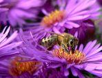 noch ein fleißiges Bienchen...