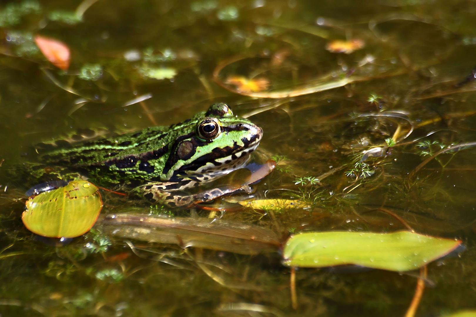 Noch ein Frosch