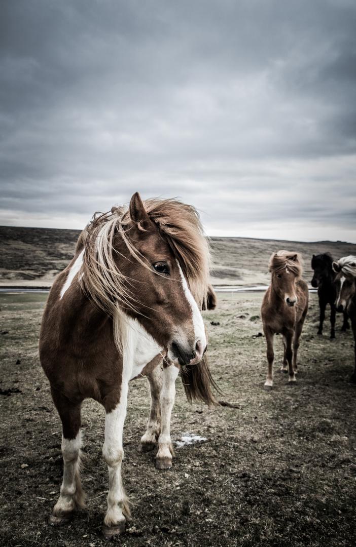 Noch ein Islandpferd