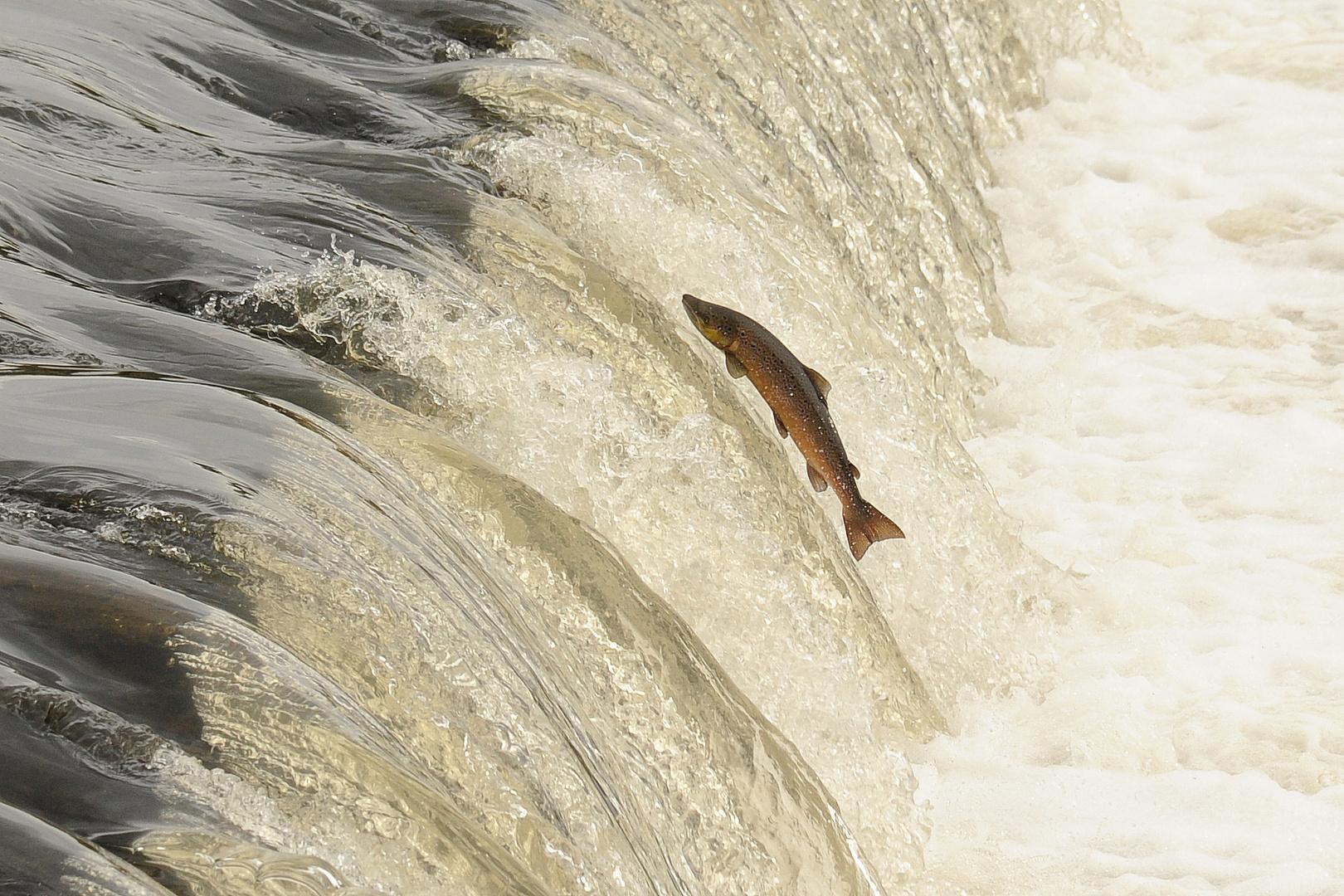 Noch ein Lachs...!