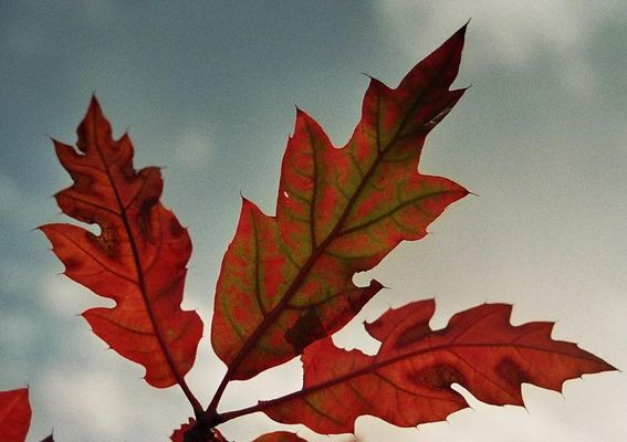 Noch ein paar rote Blätter