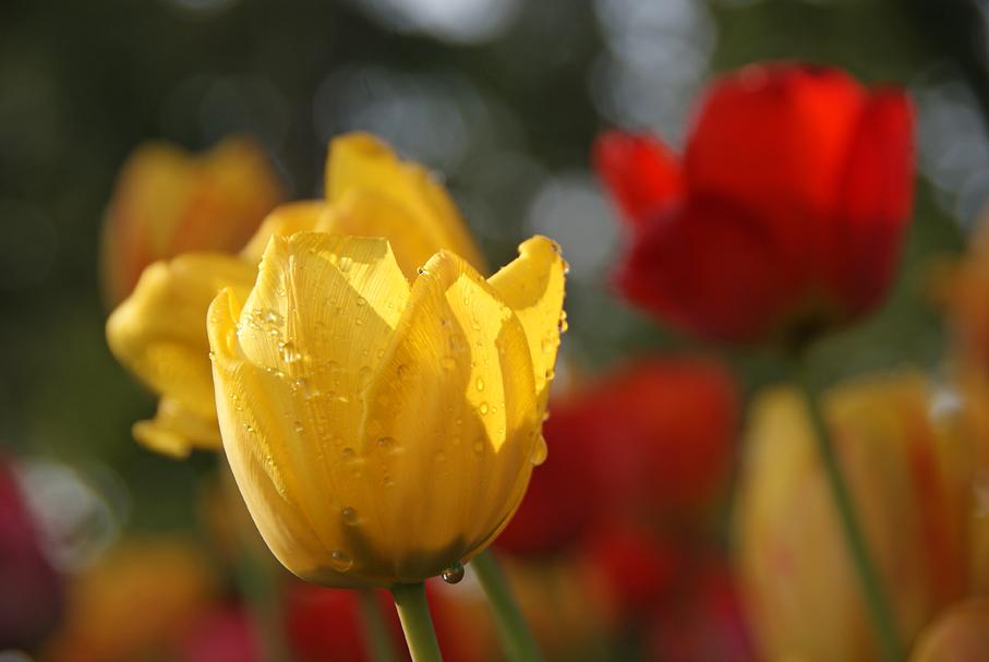 Noch ein paar Tulpen, 23.04.09 – 01