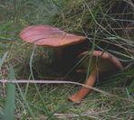 Noch ein Pilz gefunden in Tversted Klitplantage.