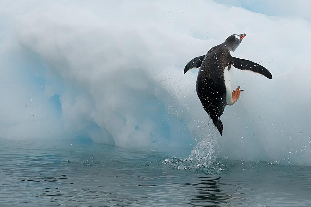 Noch ein Pinguinsprungbild
