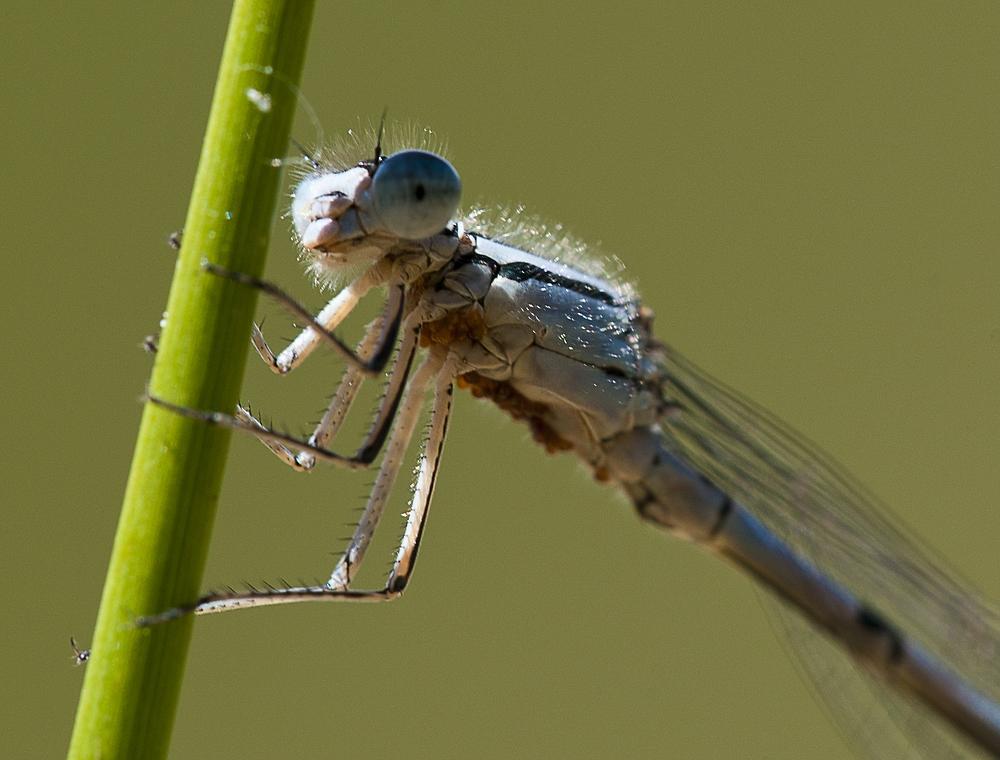 Noch ein Portrait einer Libelle