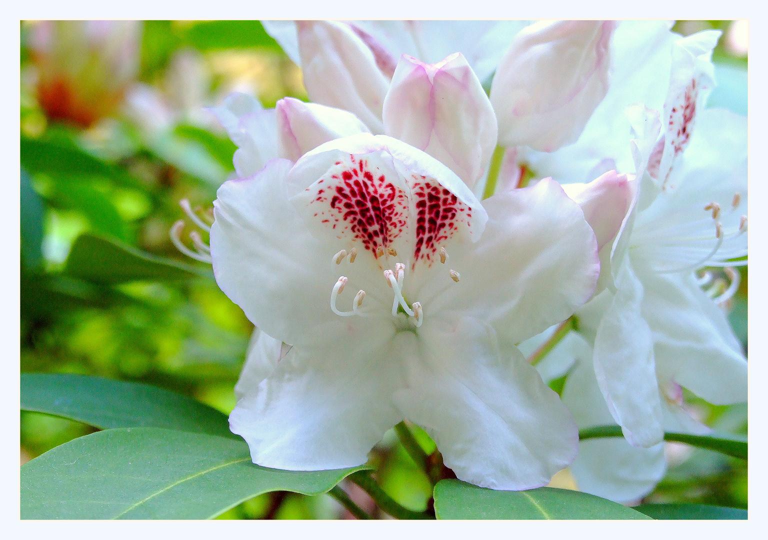 Noch ein Rhododendron aus dem Garten