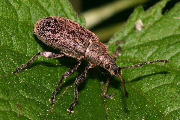 Noch ein Rüsselkäfer