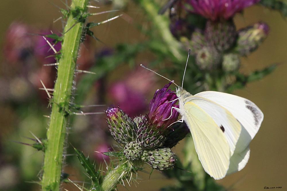 Noch ein Schmetterling auf einer Distel