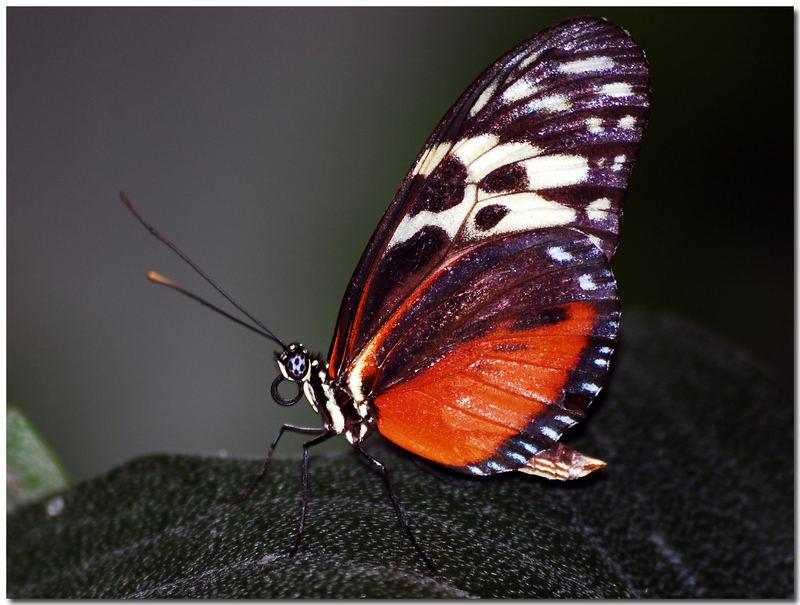 *noch ein Schmetterling*