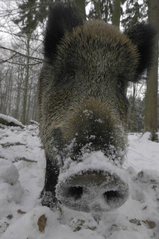 Noch ein Schwein....