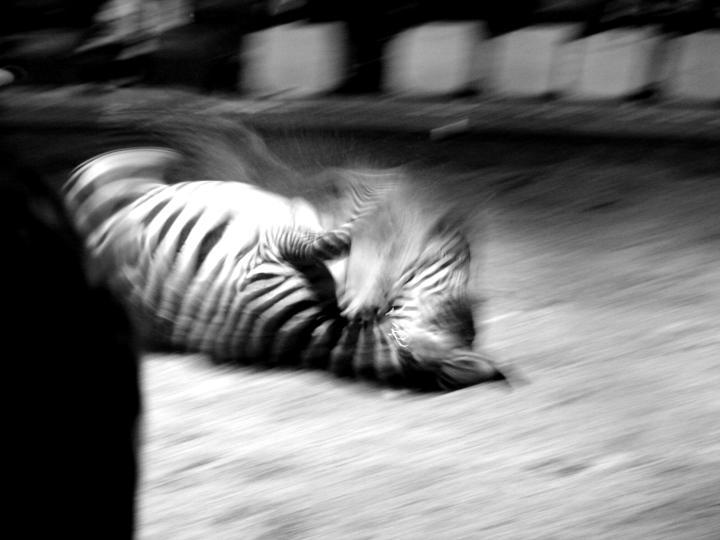 noch ein zebra