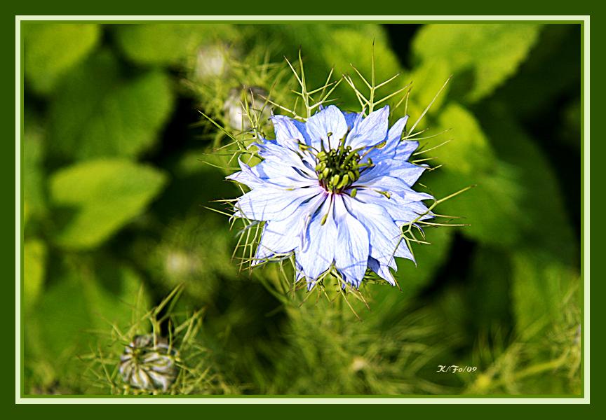 Noch eine blaue Blüte im April-Mai