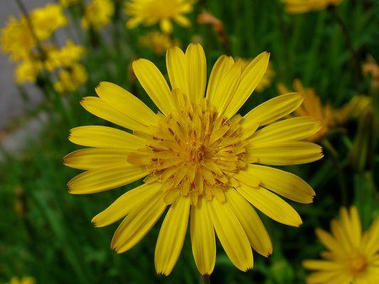 Noch eine gelbe Schönheit