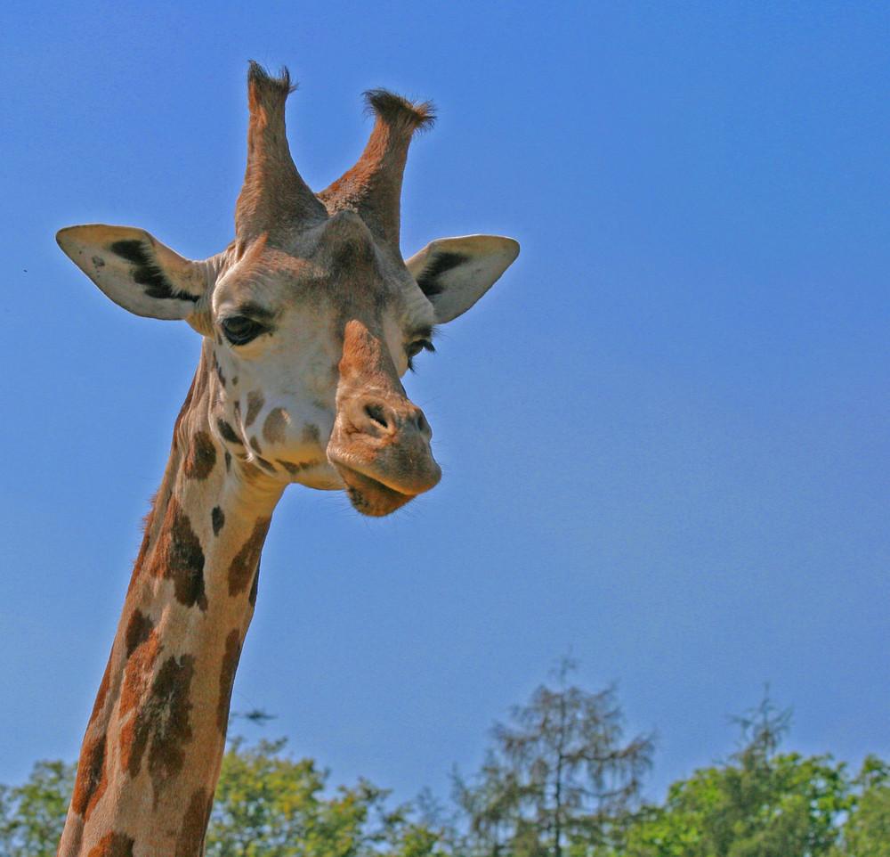 noch eine Giraffe