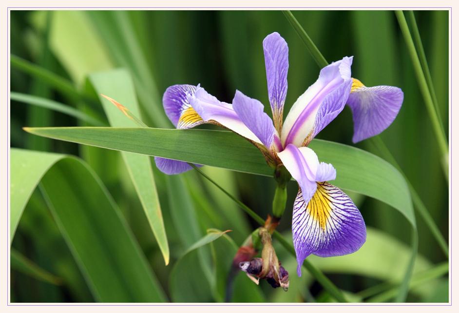 noch eine Iris