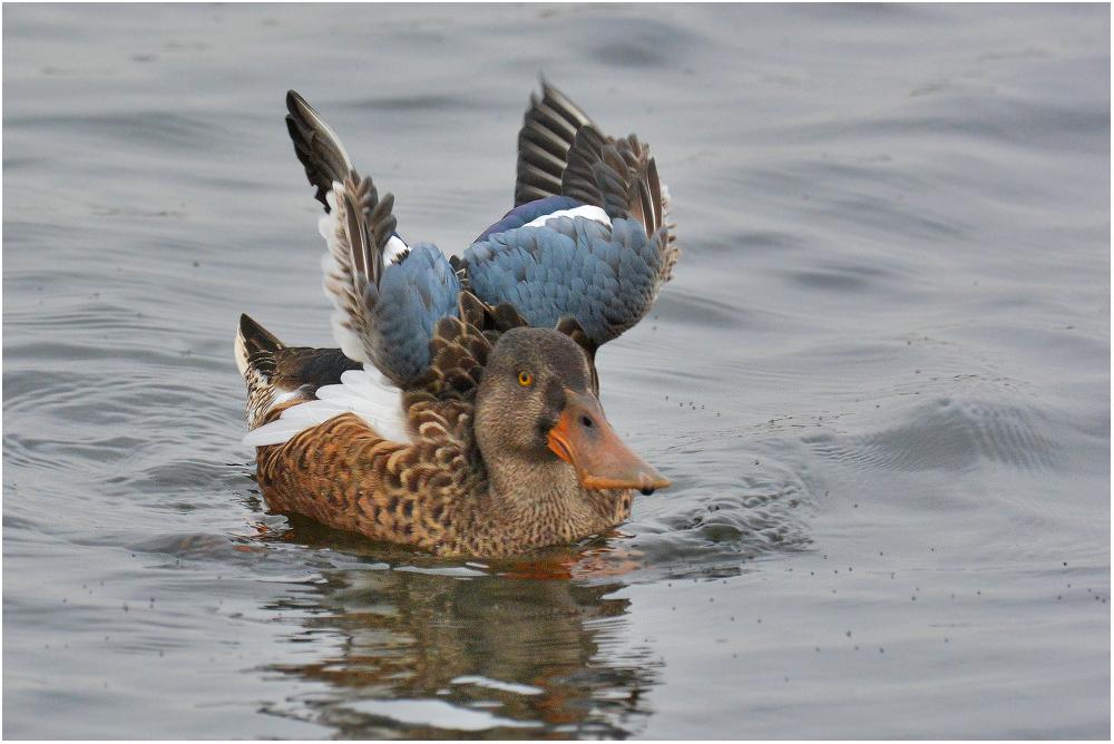 Noch eine L ö f f e l - Ente