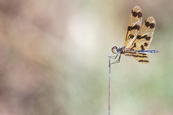 Noch eine Libelle...