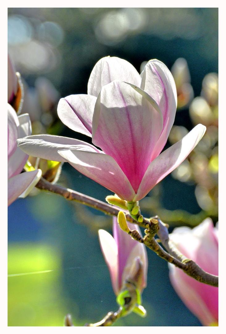 noch eine Magnolienblüte