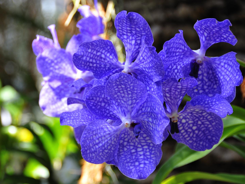 Noch eine Orchidee von der Mainau