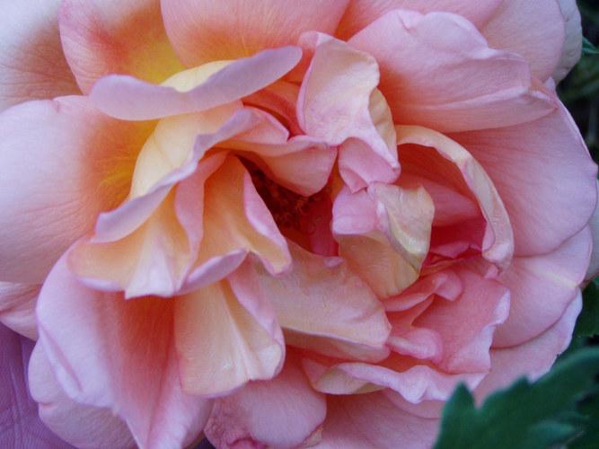 noch eine Rose......
