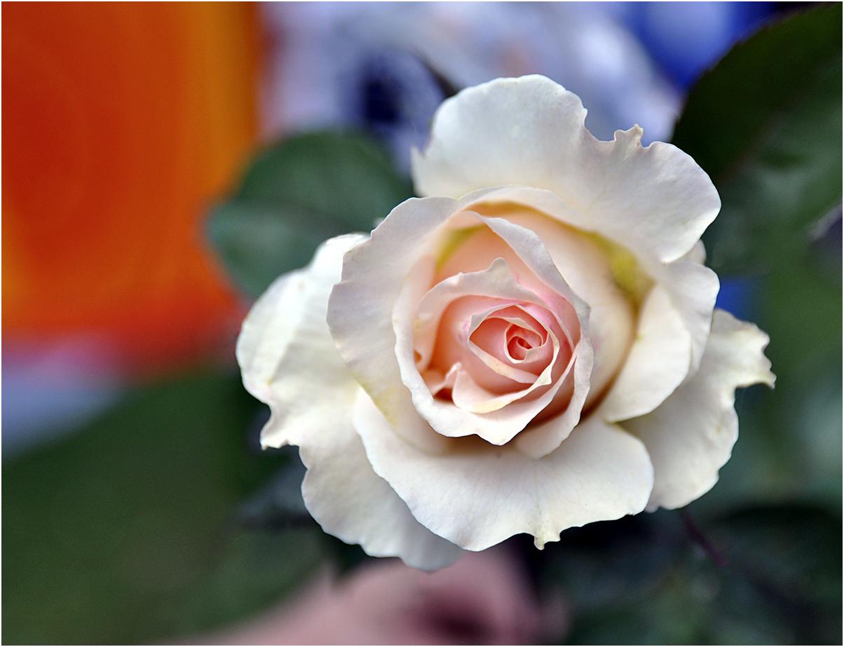 Noch eine Rose.