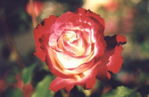 noch eine Rose