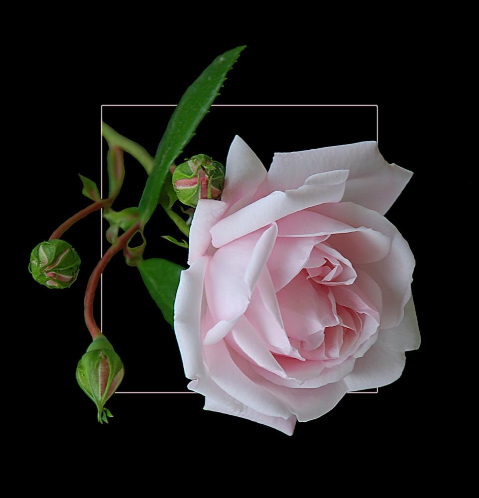 Noch eine Rose # Una rosa más