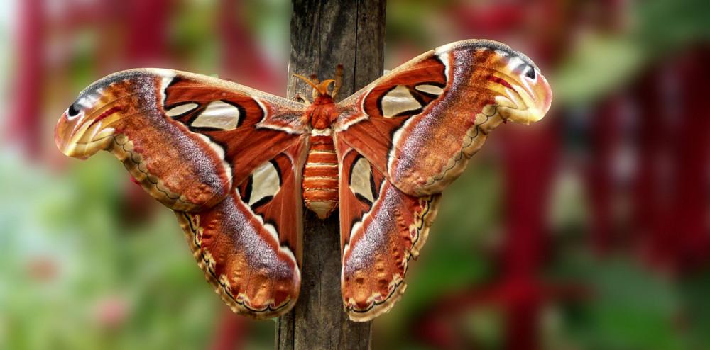 noch eine Schönheit- Schmetterlilng III - Atlasfalter -