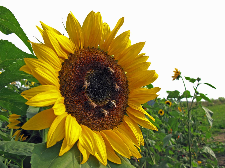 Noch eine Sonnenblume