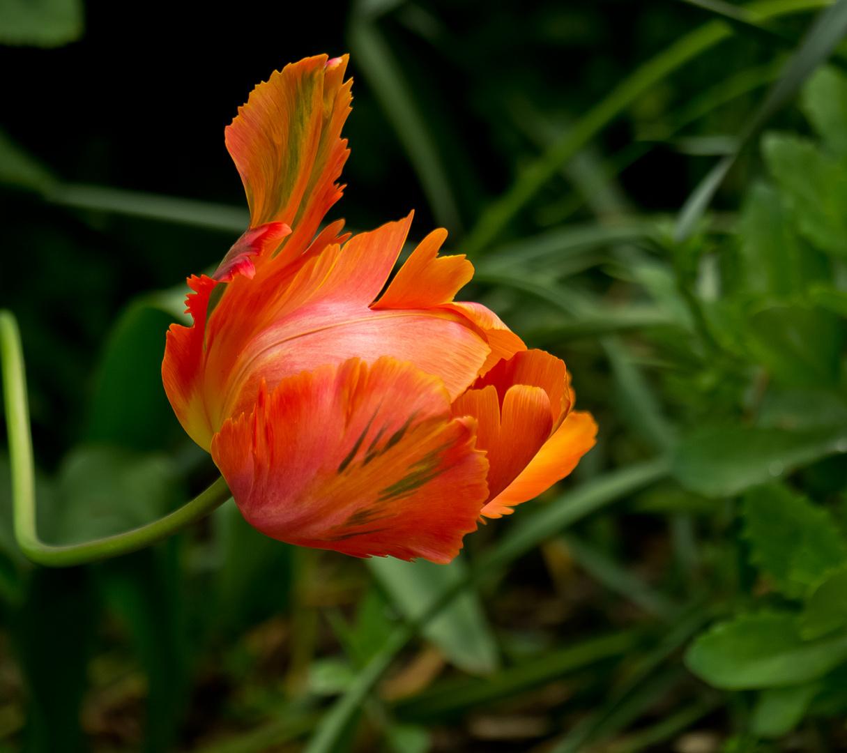 ~ noch eine Tulpe ~