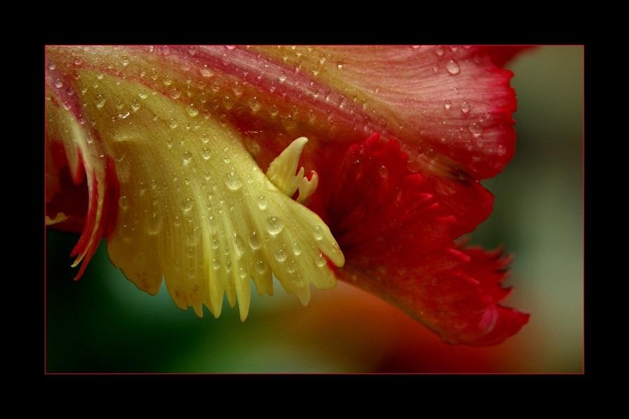 .....noch eine tulpenvaration....,-))))