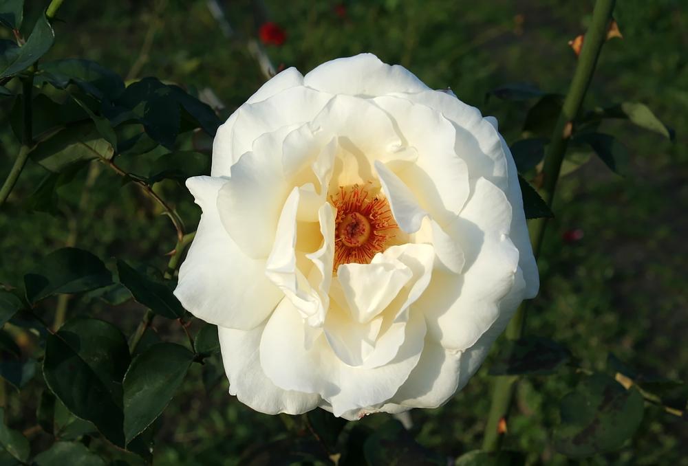 Noch eine weiße Oktoberrose