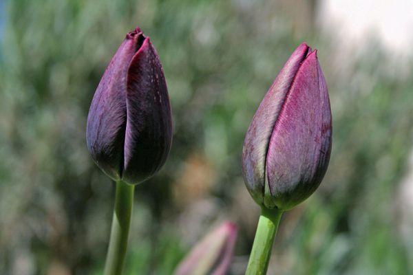 noch geschlossene Blüten