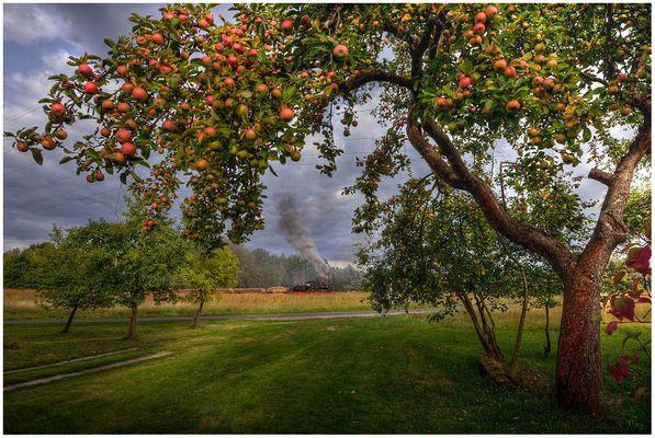 Noch hängen die Apfel...