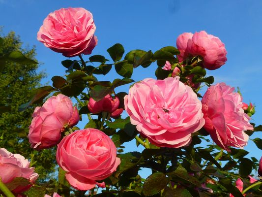 -Noch in voller Blüte...