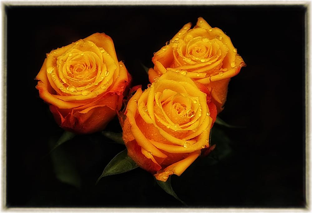 noch mal rosen