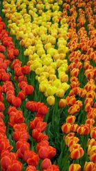 noch mal Tulpen