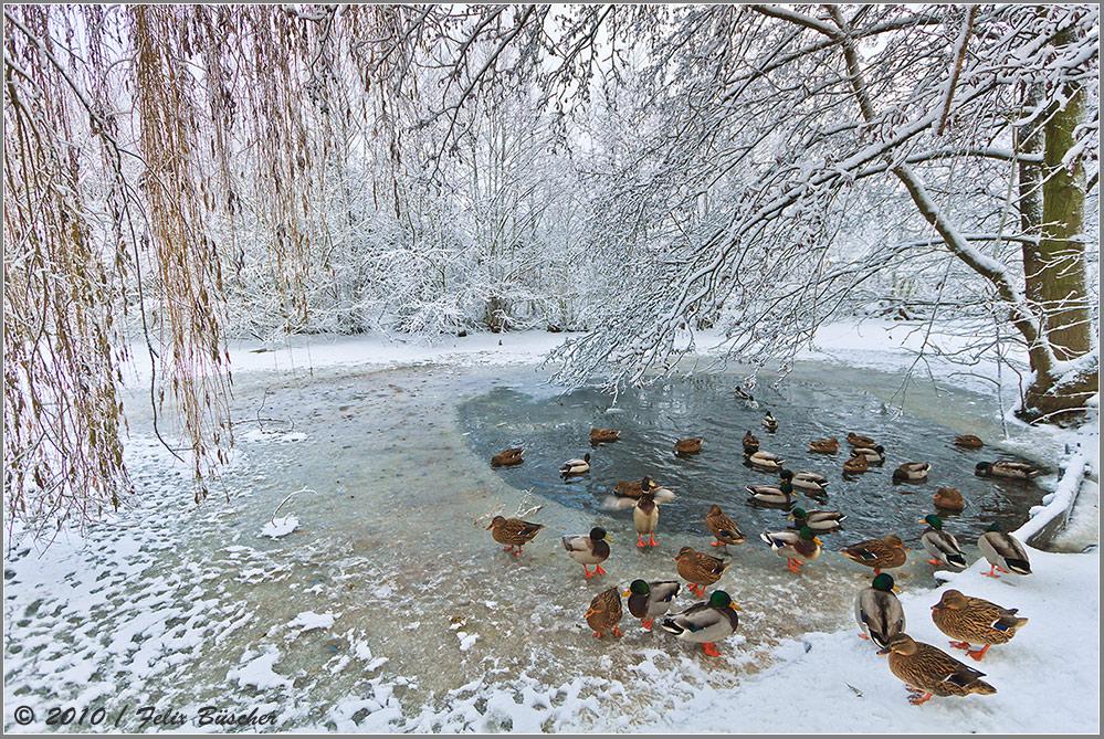 Noch mehr Frost und die Enten frieren ein.