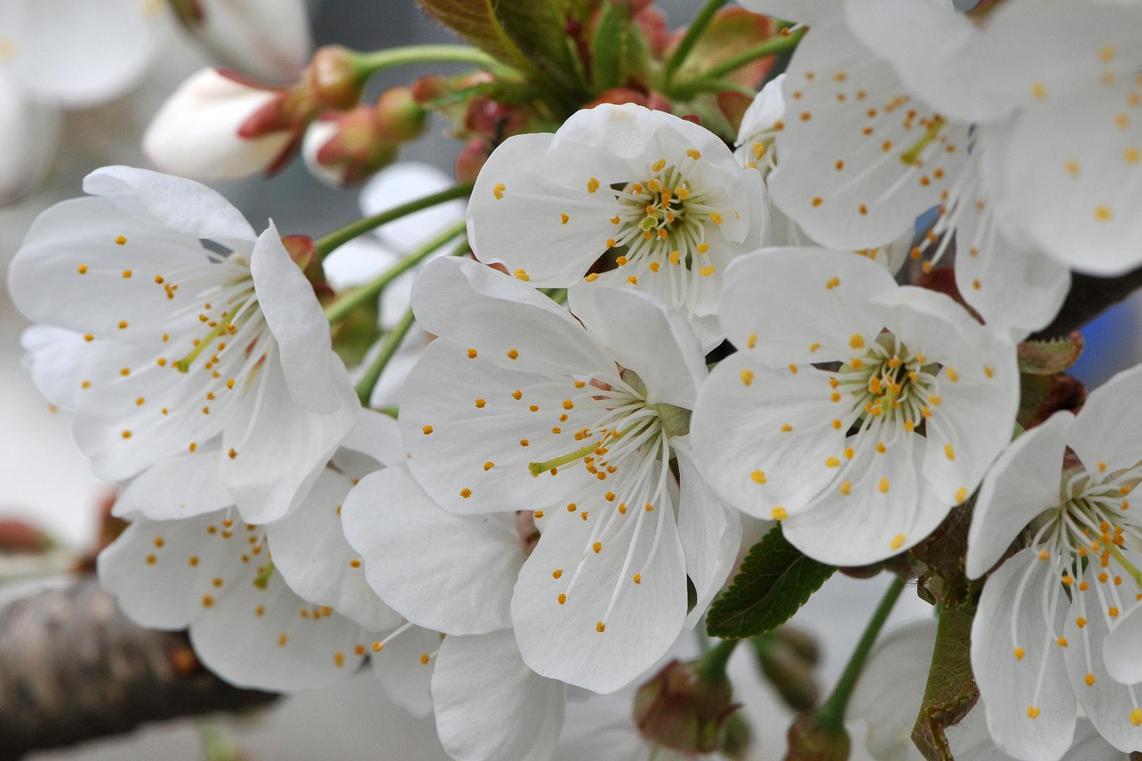 noch mehr Kirschblüten