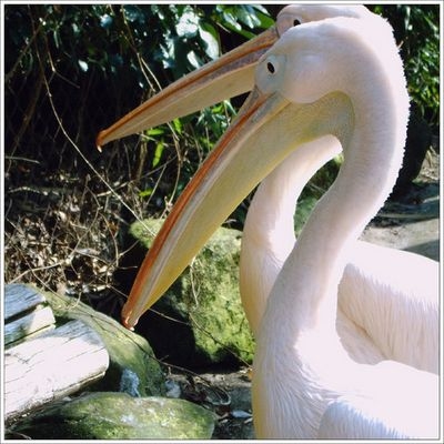 ... noch mehr Pelikane!