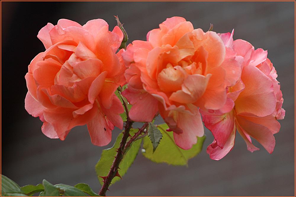 Noch mehr Rosen...