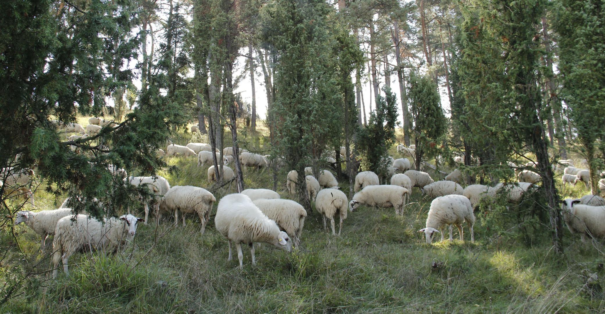 noch mehr Schafe bei der Arbeit ;-)