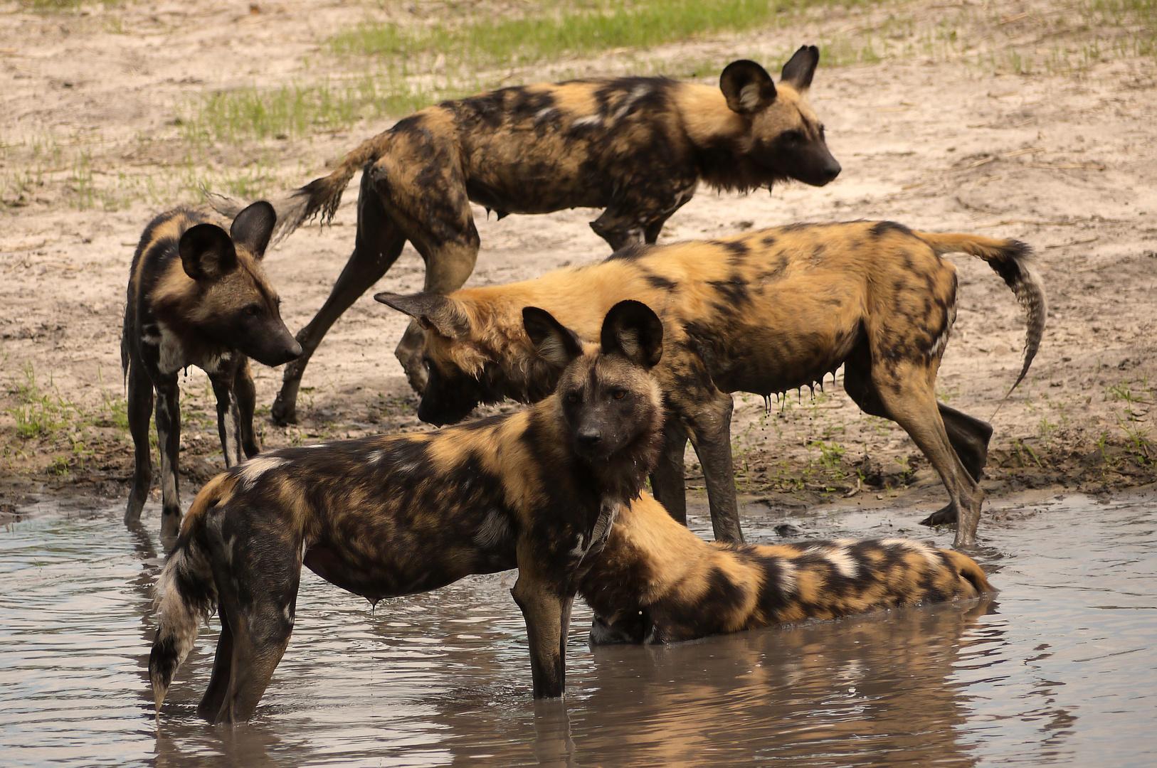 noch mehr Wldhunde am Wasser